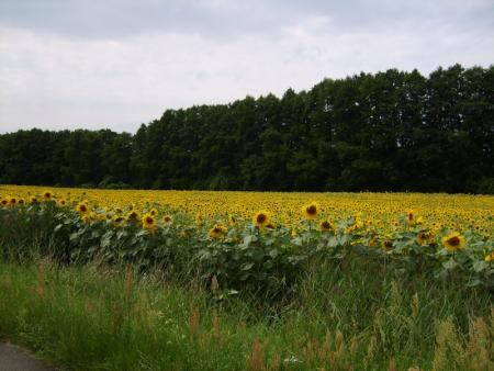 (44) Sonnenblumen