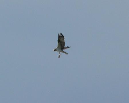 Fischadler über dem Grimnitzsee