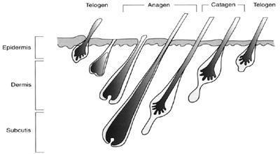 Wachstumszyklus der Haare