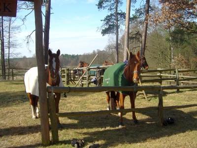 wartende Pferde
