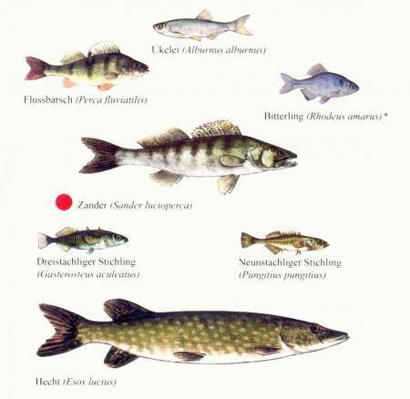 Fischfauna3