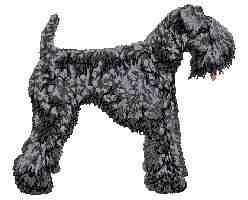 Kerry Blue Terrier Body