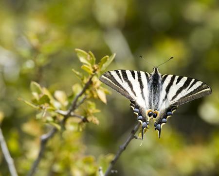 Schmetterlin