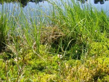 Schwingmoor mit Torfmoos und Seggen