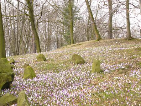 Krokuswiese im Schlosspark Kreckwitz