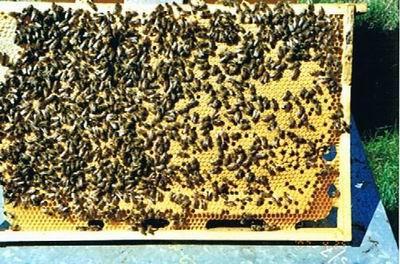 Ein fleißiges Bienenvolk