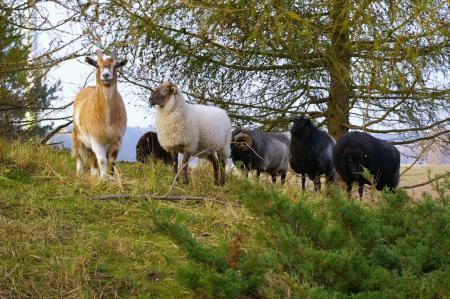 Ziegen, Schafe...