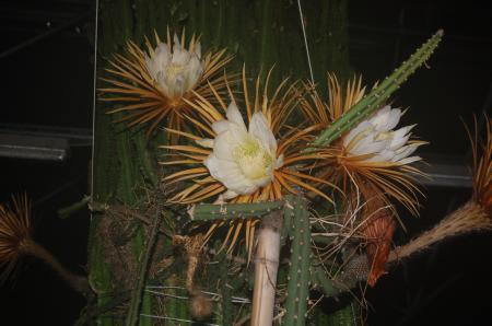 Selenicerus grandiflorus