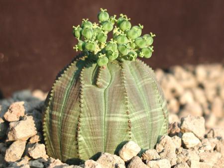 Euphorbia obesa Indoor