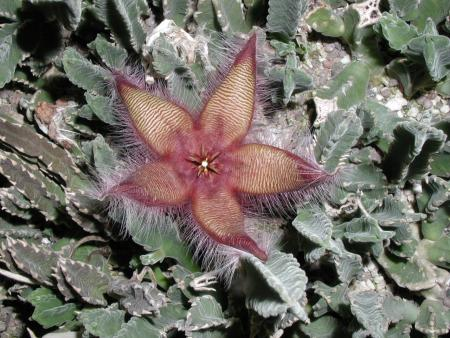 Stapelia gettleffei